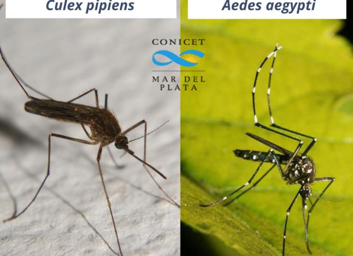 Mosquitos Culex Pipiens y Aedes Aegyptis. Fotografías: gentileza de Gaston Zubaran.
